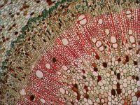 Větvička lípy pod mikroskopem